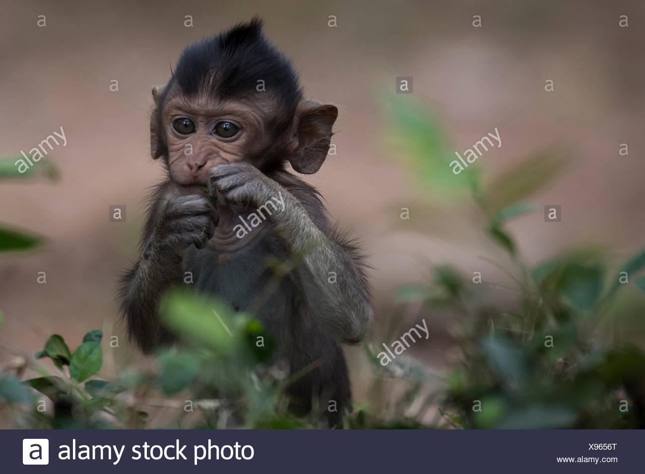 Un giovane scimmia a Angkor Thom. Immagini Stock
