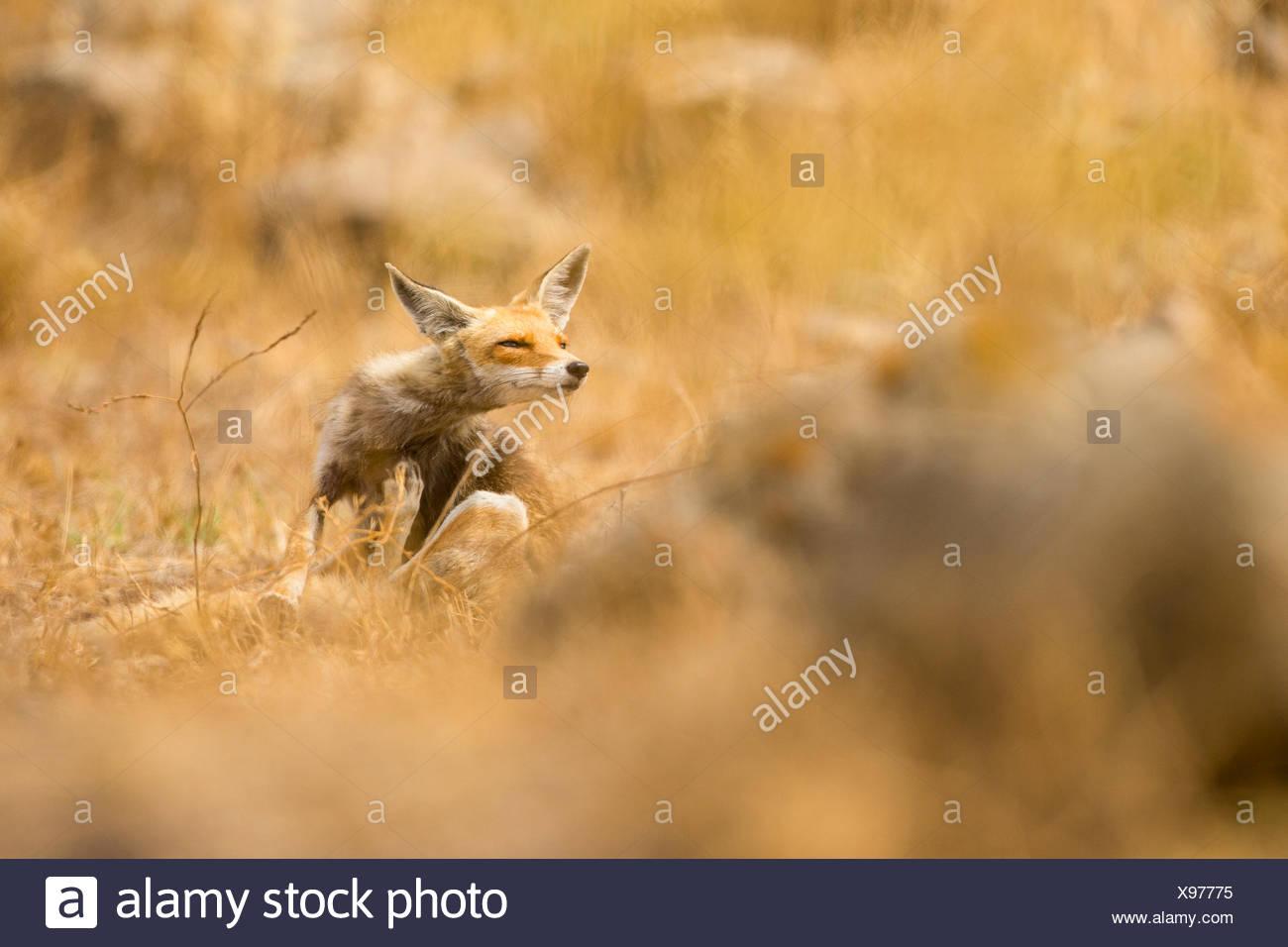 Red Fox (Vulpes vulpes vulpes). La Volpe rossa è la più grande del vero volpi, così come la maggior parte geograficamente sparsi membro del Immagini Stock