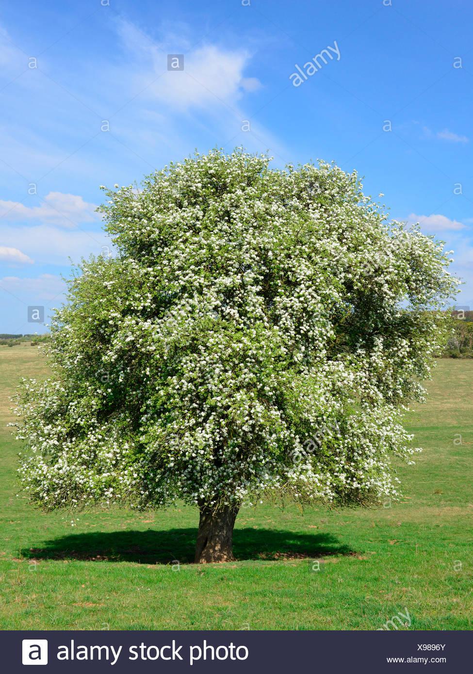 Immagini albero pero