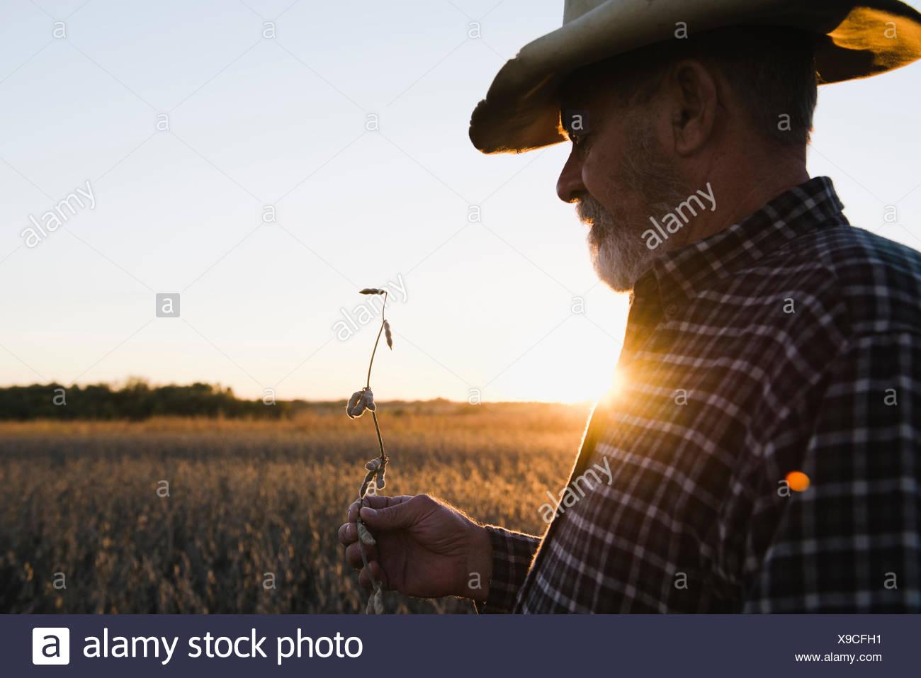 Senior agricoltore maschio cercando in corrispondenza dello stelo dal raccolto di semi di soia, Plattsburg, Missouri, Stati Uniti d'America Immagini Stock