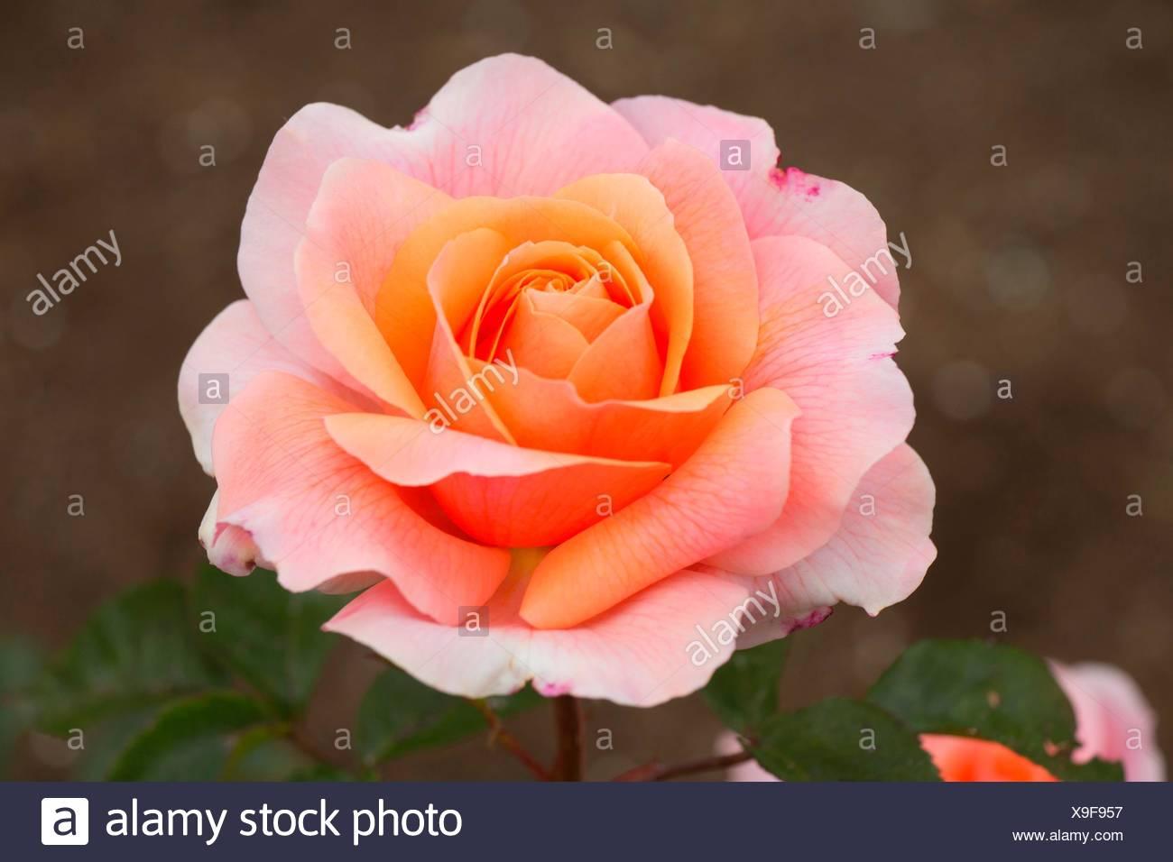 La riconciliazione è salito, cimelio di rose, San Paolo, Oregon. Foto Stock