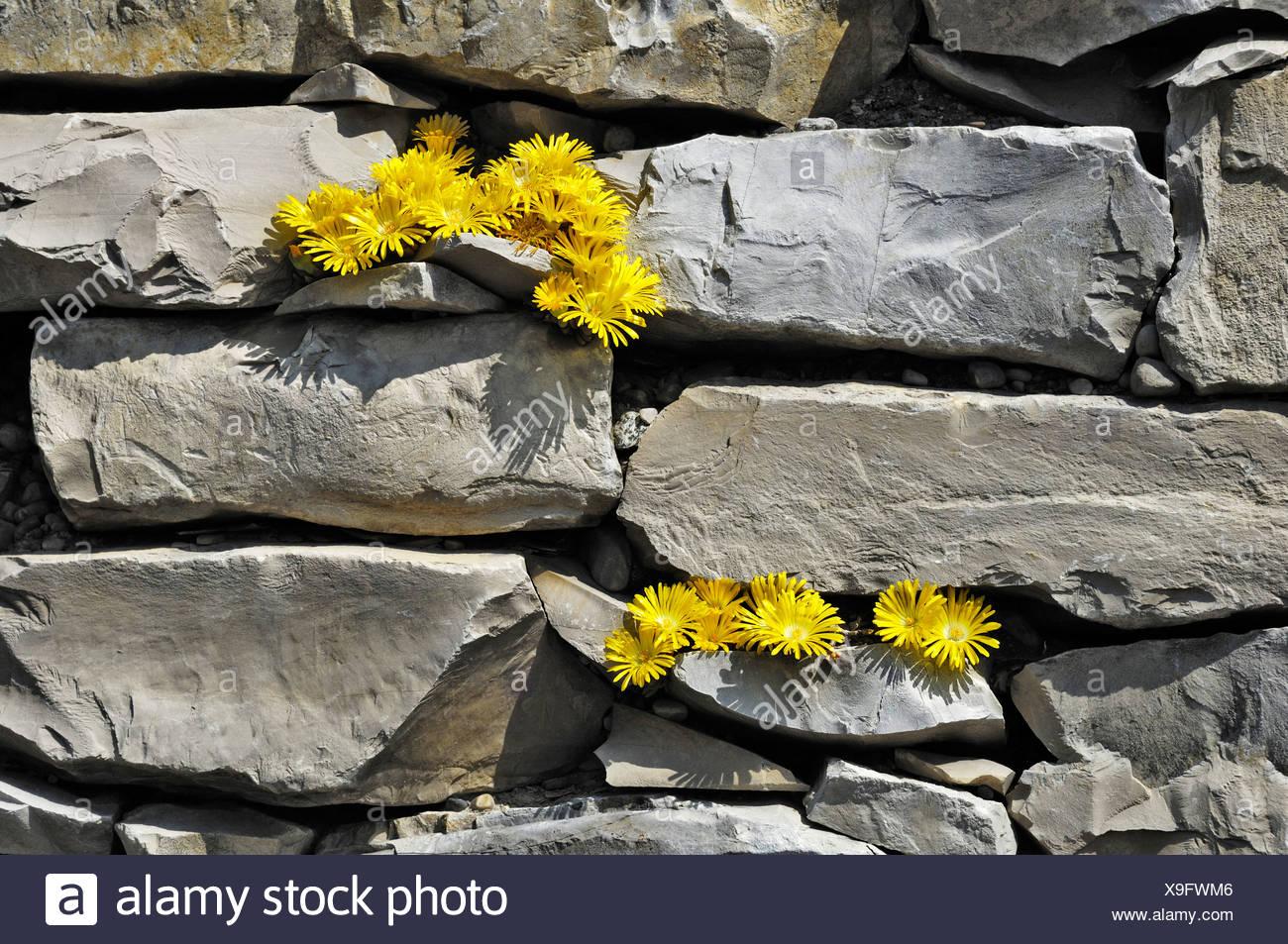 Il giallo di piante succulente (Delosperma lineare), Germania, Europa Immagini Stock