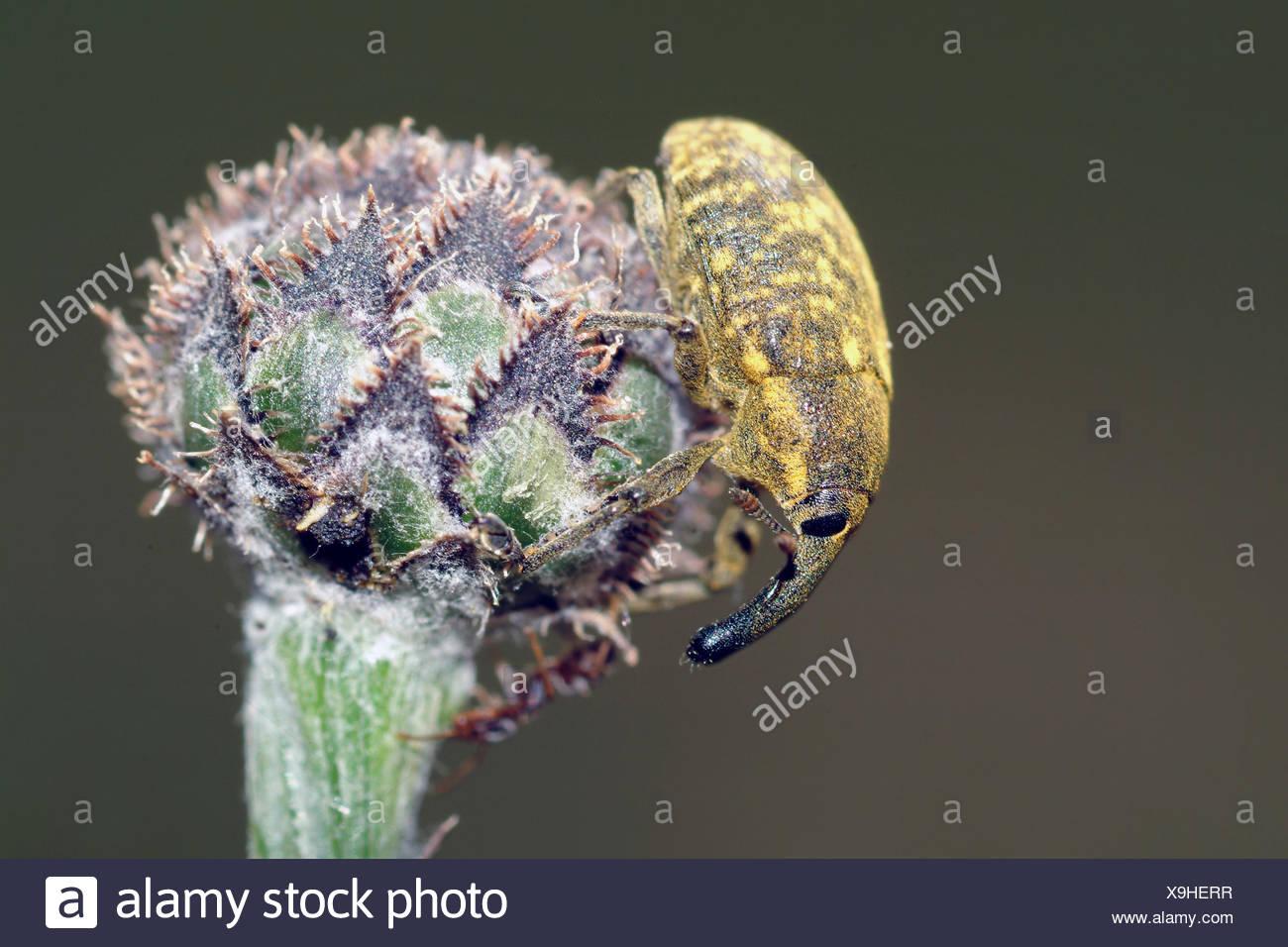 Curculione vero. (Larinus planus), su flowerbud, Germania Immagini Stock