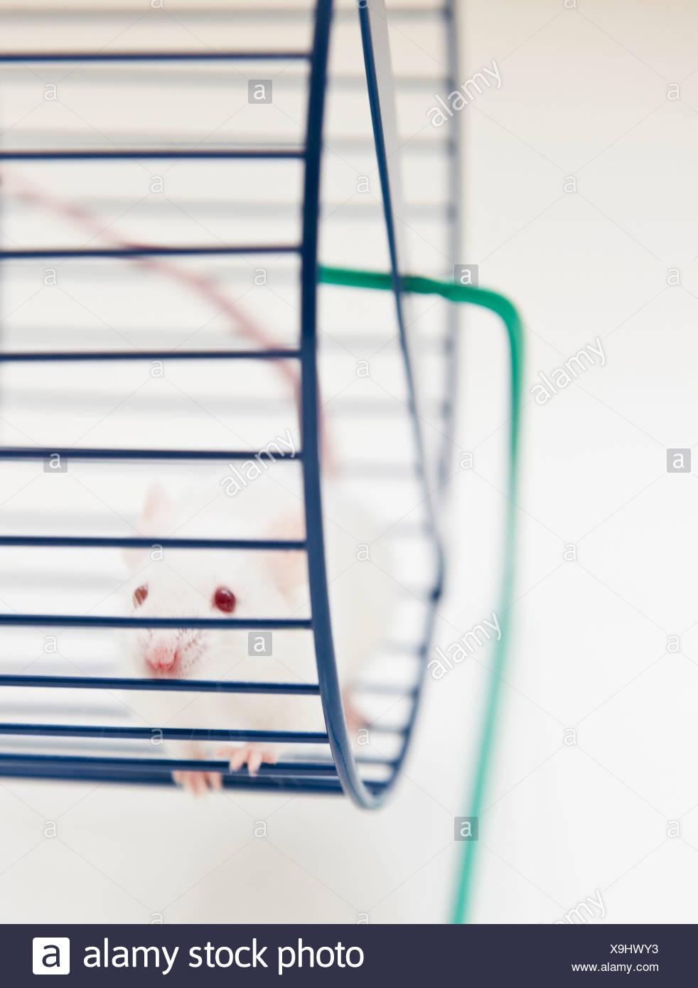 Studio colpo di mouse bianco nella ruota di esercizio Immagini Stock