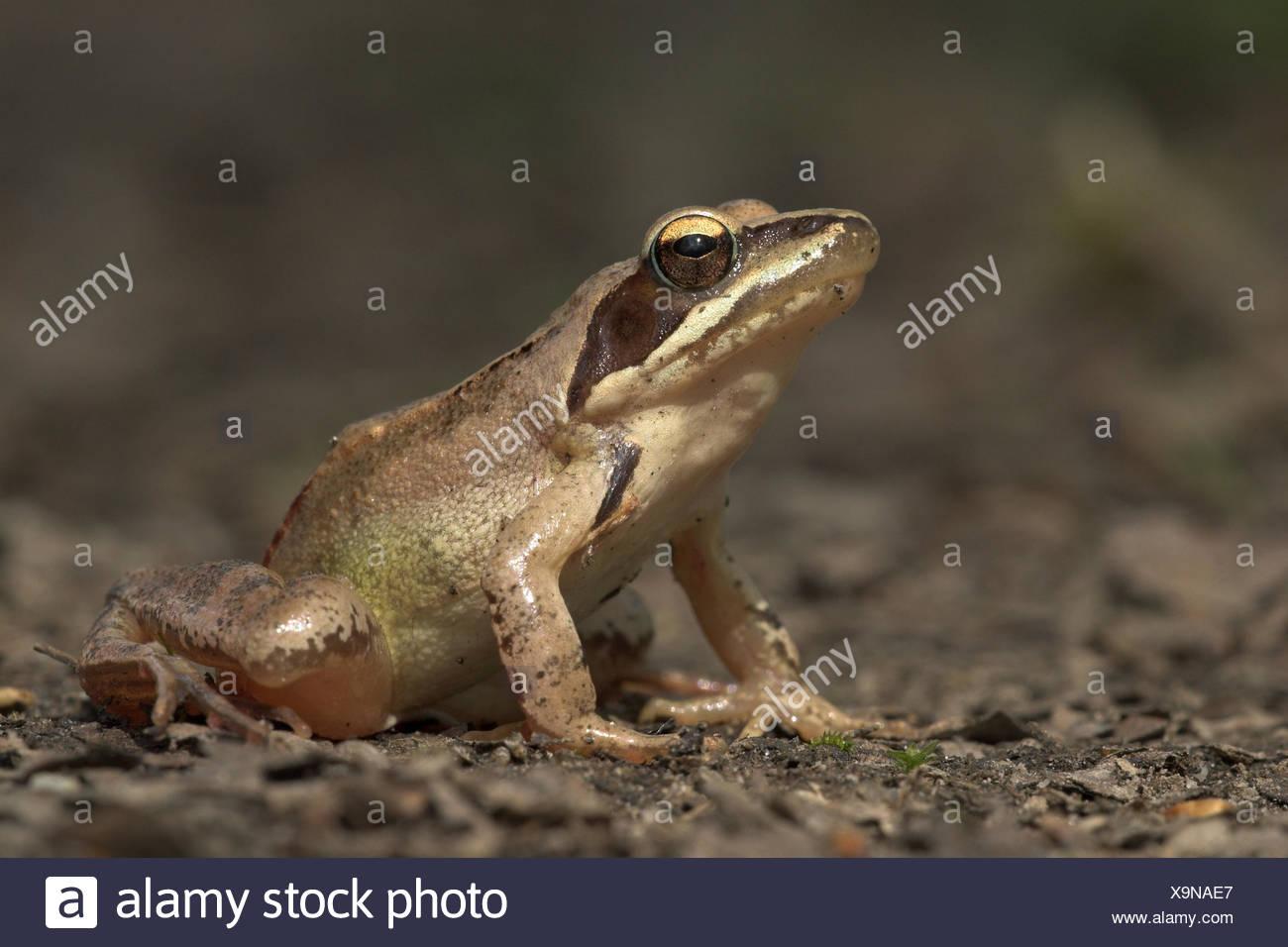 Immagine di una rana agile sul pavimento di forrest Immagini Stock