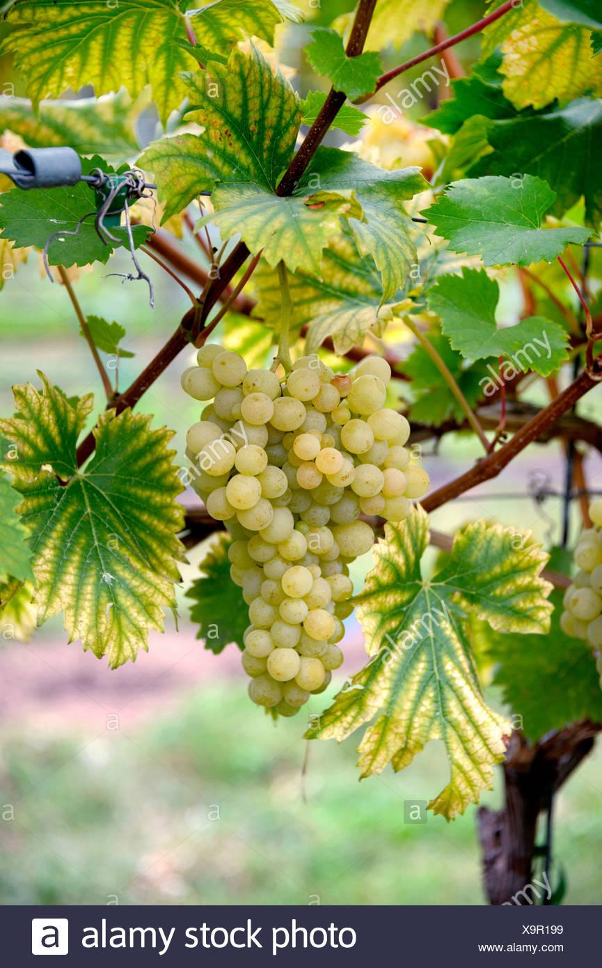 Vitigno, vite (Vitis vinifera 'Evita', Vitis vinifera Evita), cultivar Evita Immagini Stock