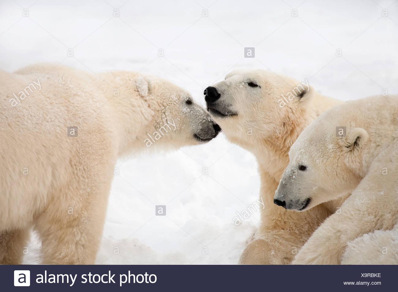 Tre Orsi Polari (Ursus maritimus) essendo affettuoso; Nunavut, Canada Foto Stock