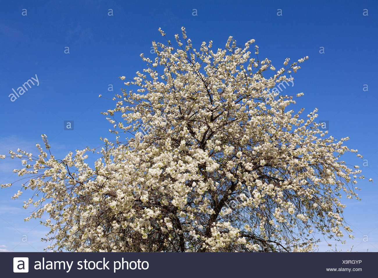 Fiori Bianchi Frutto.Alberi Da Frutto Allegra Tree Che Fiorisce In Primavera Con