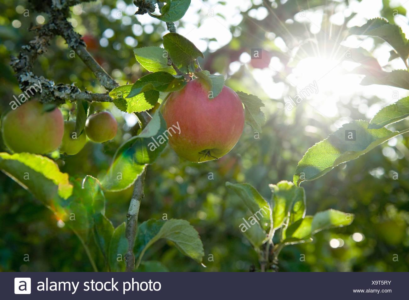 Le mele di sole al mattino Immagini Stock