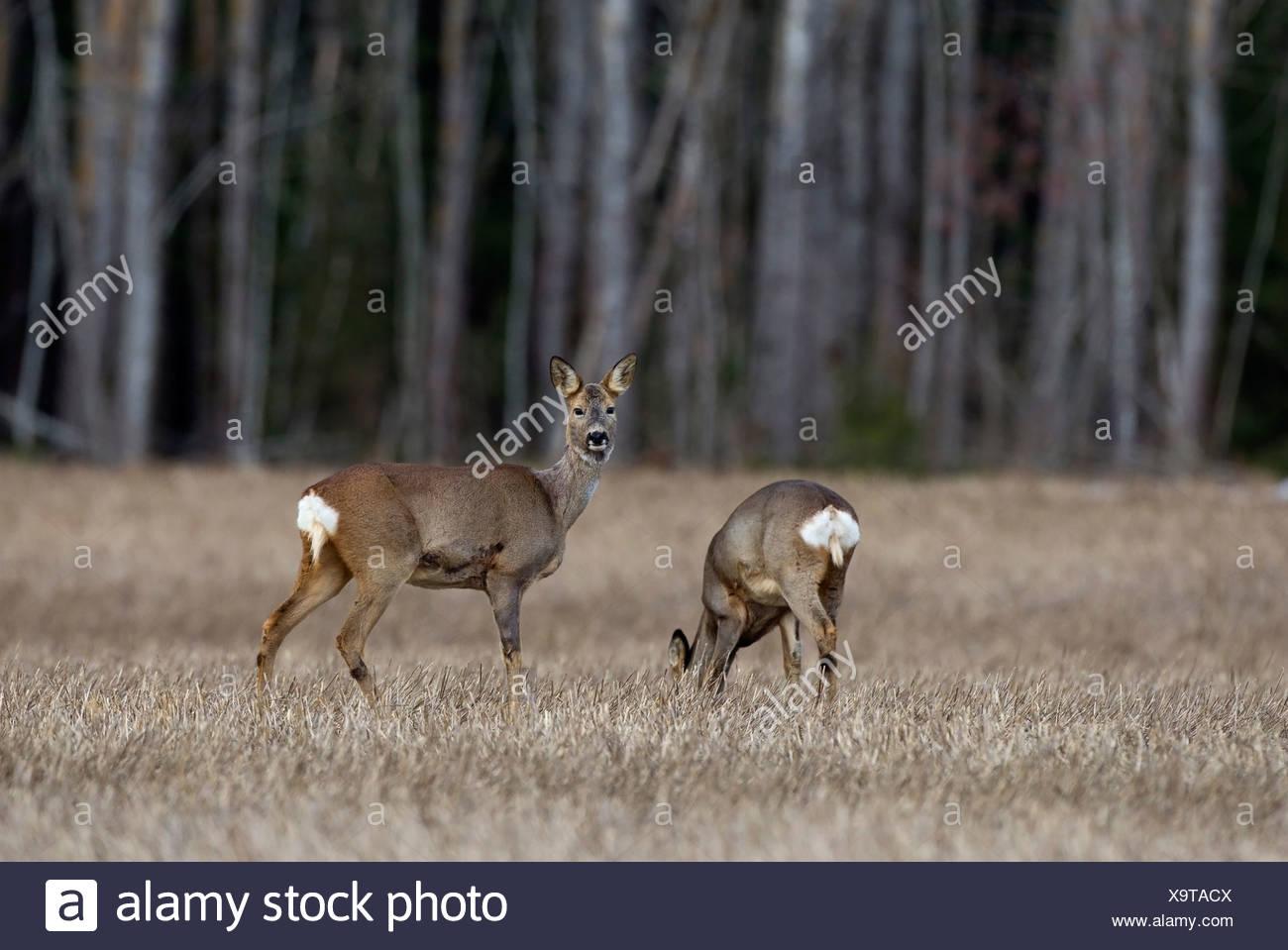 Due cervi camminando in campo contro sfocato tronchi di alberi Immagini Stock