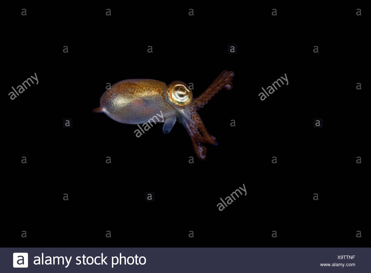 Atlantic Bobtail seppie 2 cm Dimensioni Sepiola atlantica Stromsholmen Oceano Atlantico dalla Norvegia Immagini Stock