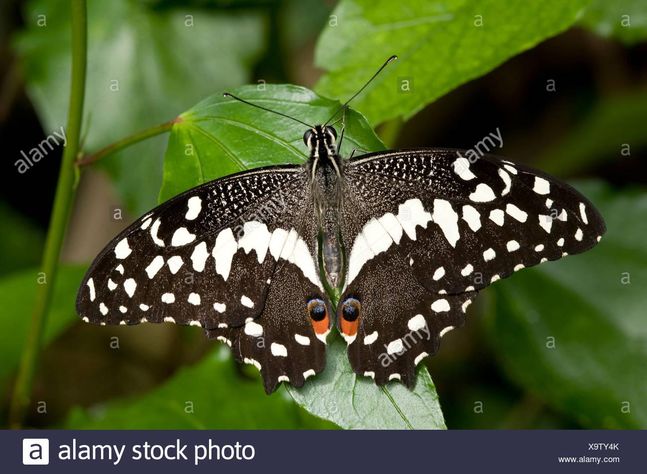 Lime a coda di rondine (farfalla Papilio demoleus) a riposo con ali aperte. Immagini Stock