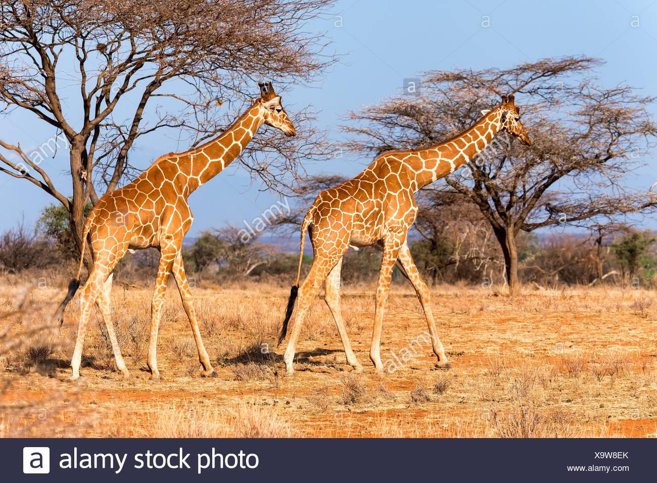 Le giraffe reticolate o giraffe somala (Giraffa camelopardalis reticulata) oltrepassando acacia (acacia sp.) gli alberi Immagini Stock