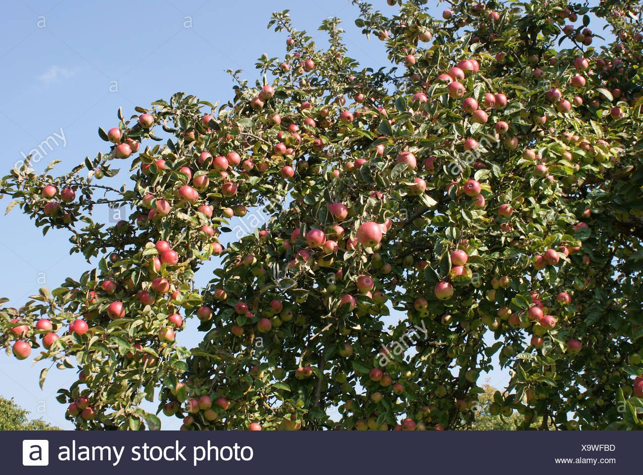 Albero di mele Immagini Stock