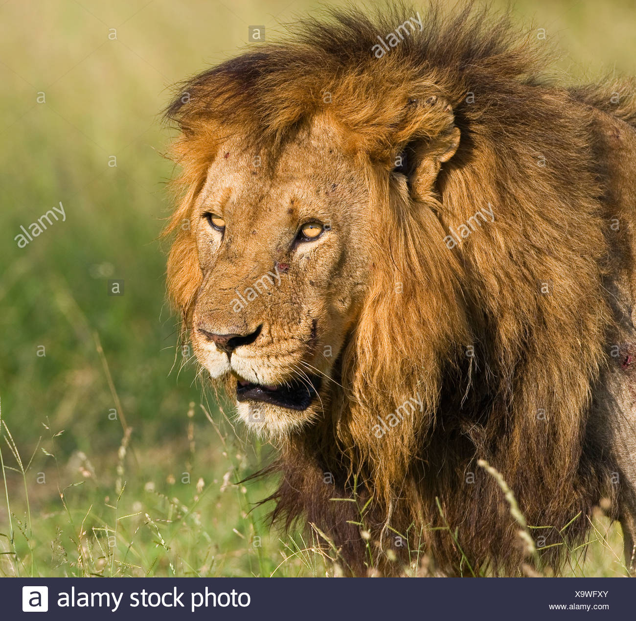 Close up dei maschi di Lion, il maggiore parco nazionale Kruger, Sud Africa Immagini Stock