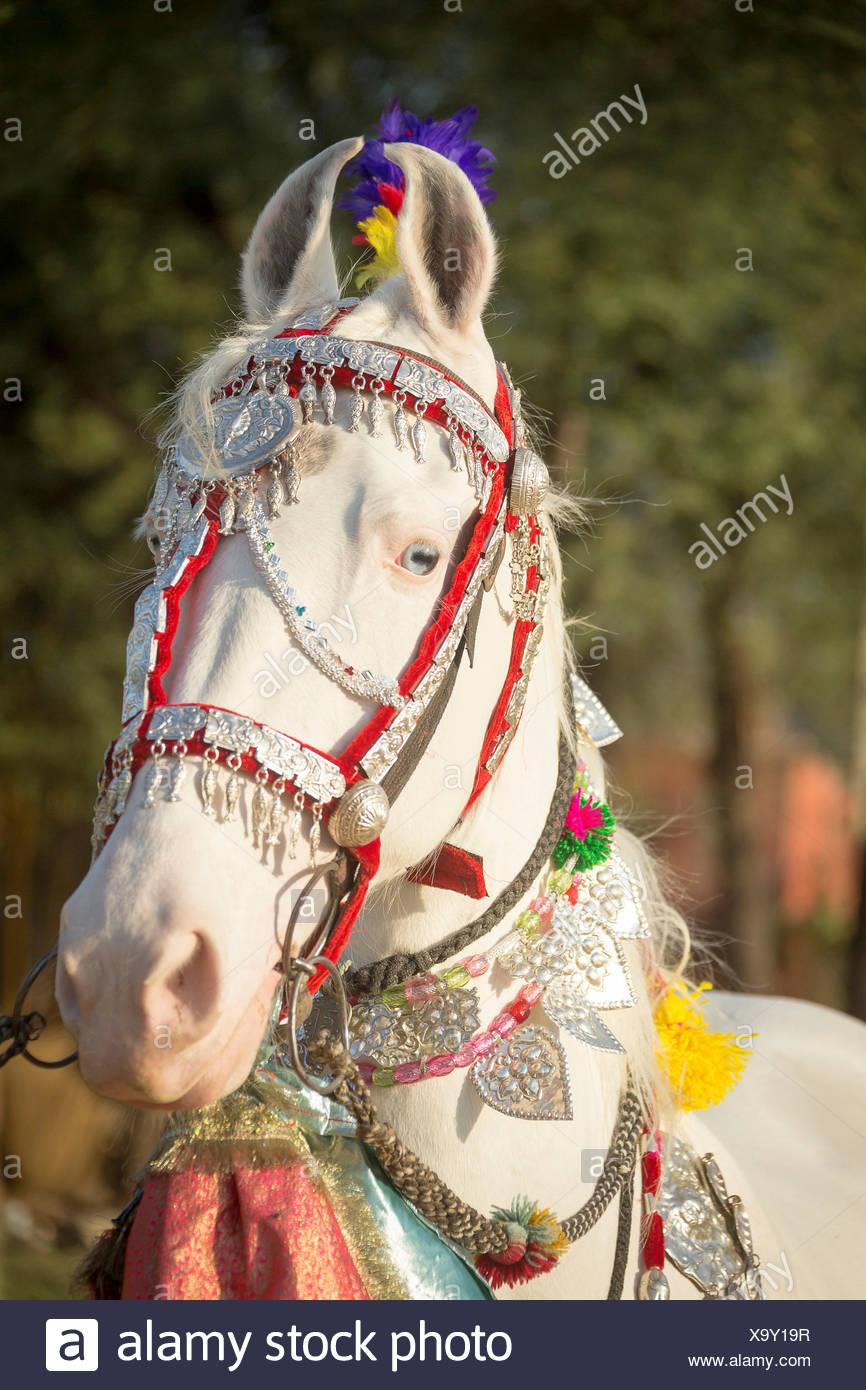 Marwari Horse. Ritratto di bianco dominante il mare decorate con copricapo colorati. Rajasthan, India Foto Stock