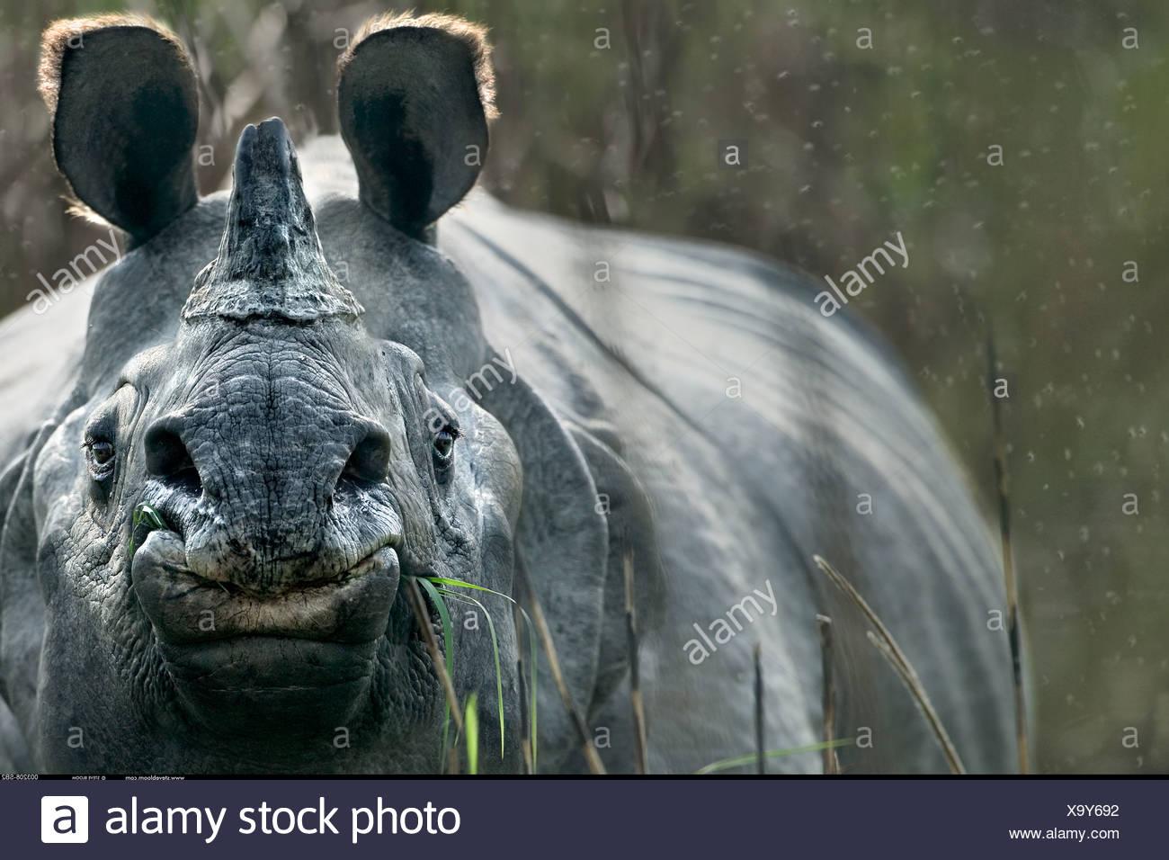 Rinoceronte indiano Kaziranga India Immagini Stock