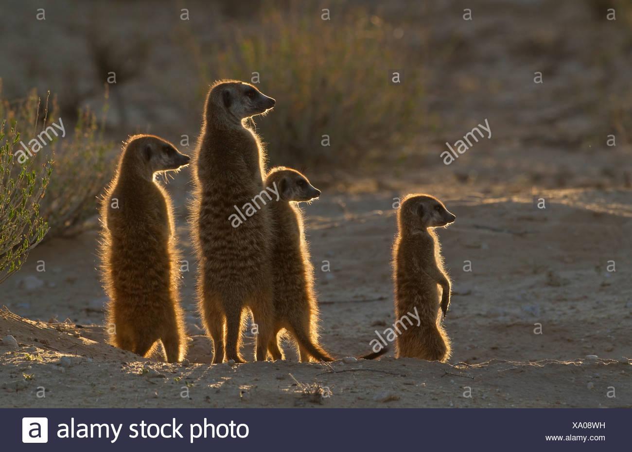 Meerkats cattura il sole del mattino, Kgalagadi Parco transfrontaliero, Africa Immagini Stock