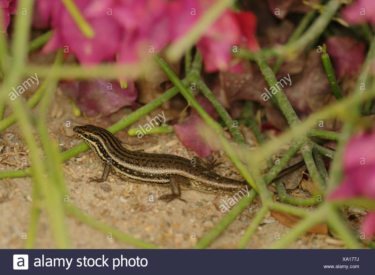 Non ancora descritti skink di Trachylepis gruppo brevicollis, Qatar Doha Immagini Stock