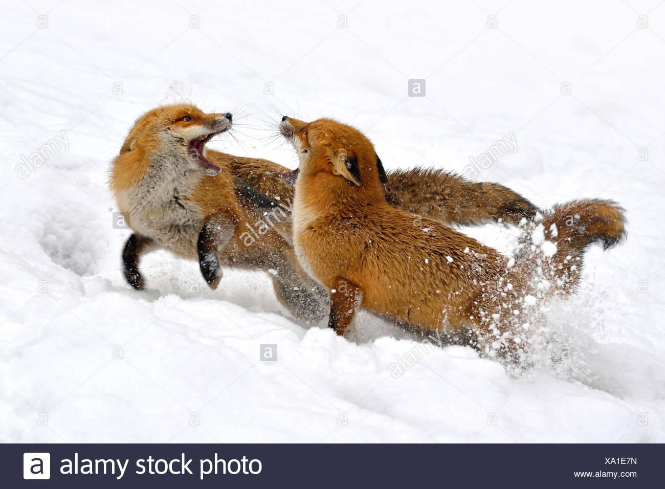Red Fox (Vulpes vulpes vulpes), due volpi combattimenti nella neve, Germania Immagini Stock