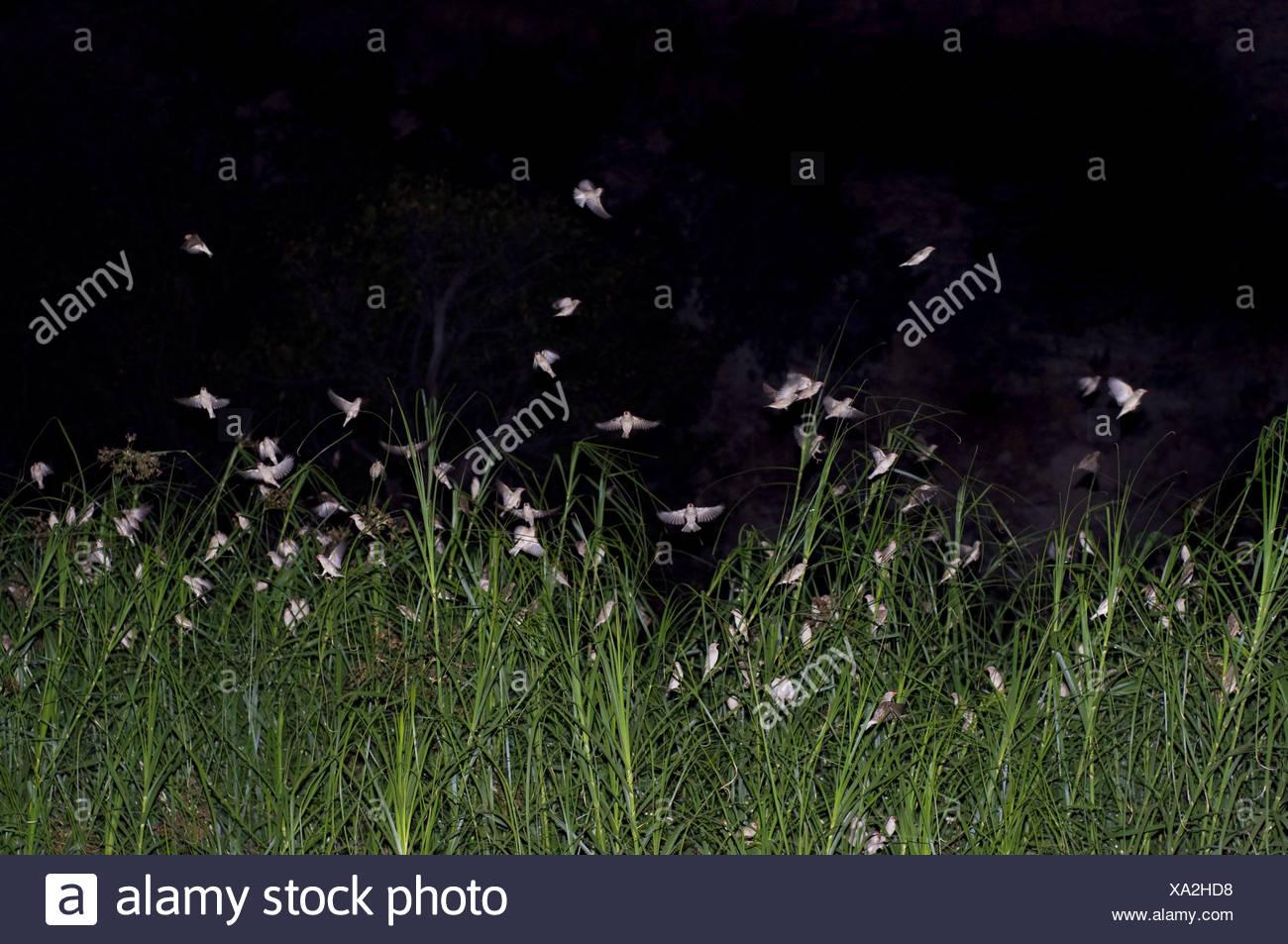 Africa, Namibia, sorgente calda, reed, uccelli, notte, oscurità, erba, erba reed, animali, bird la folla, angeblitzt, esterno, Immagini Stock