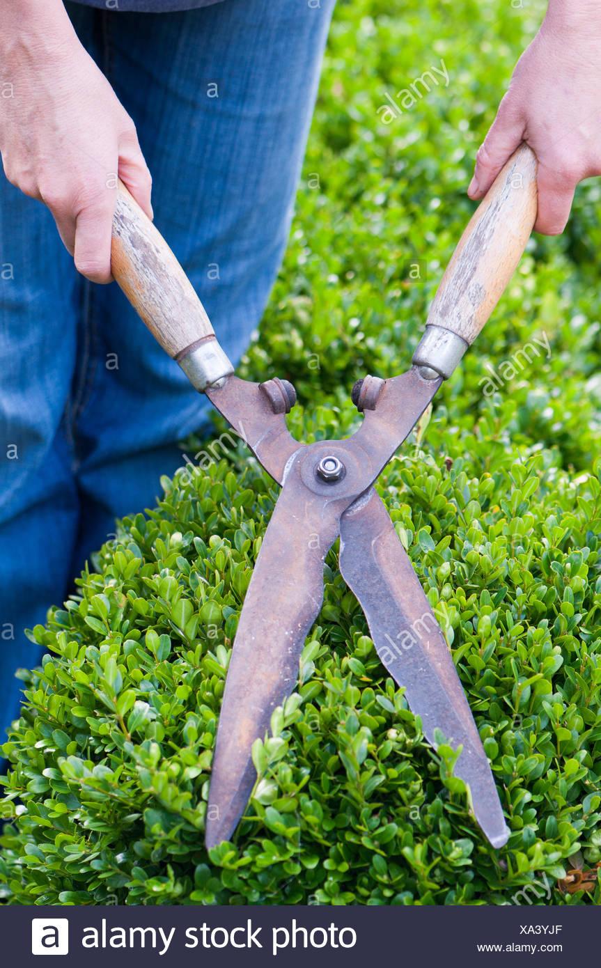 La potatura della siepe di bosso in un giardino con coppie di taglio Immagini Stock