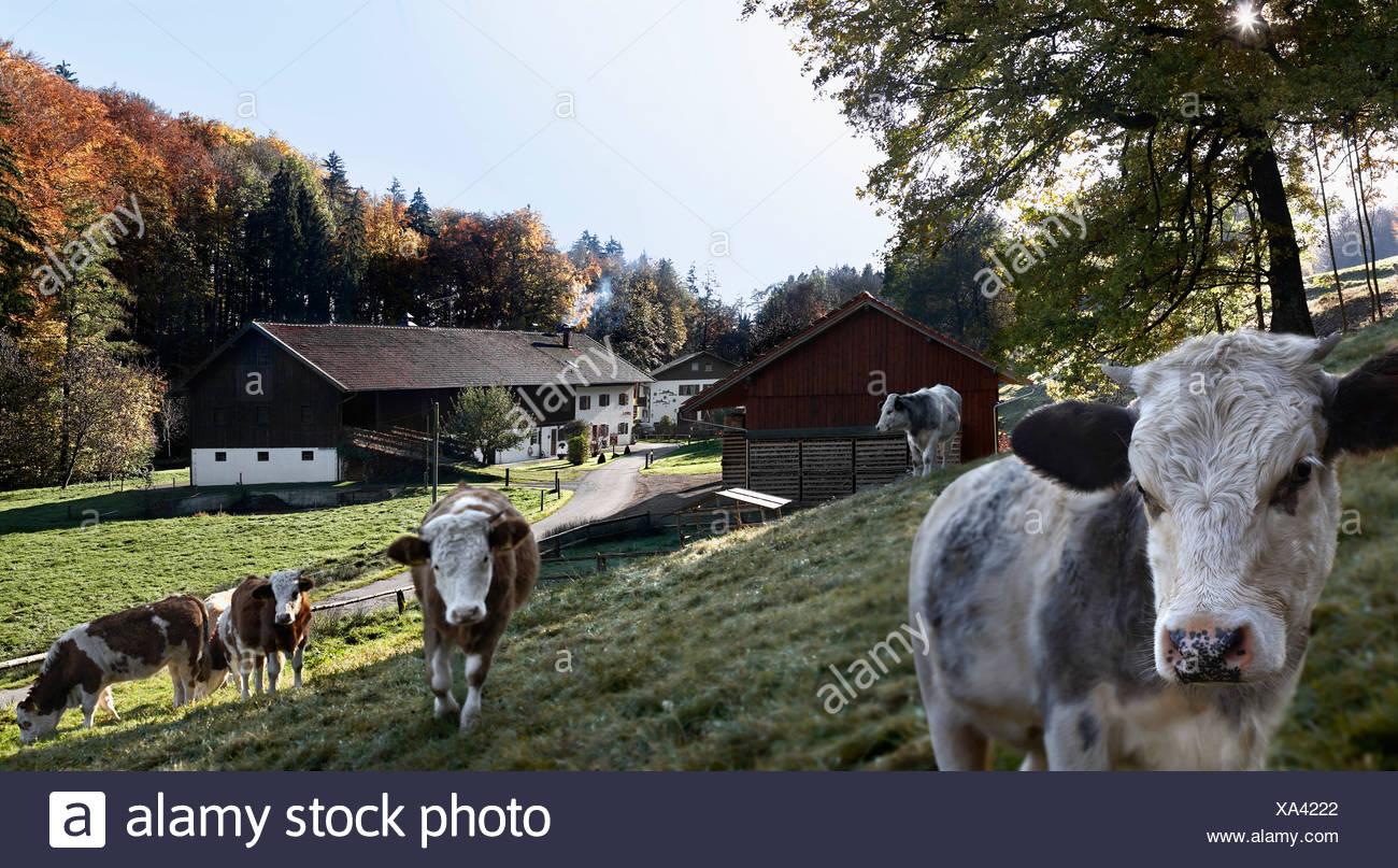 Vacche camminando in agriturismo Immagini Stock