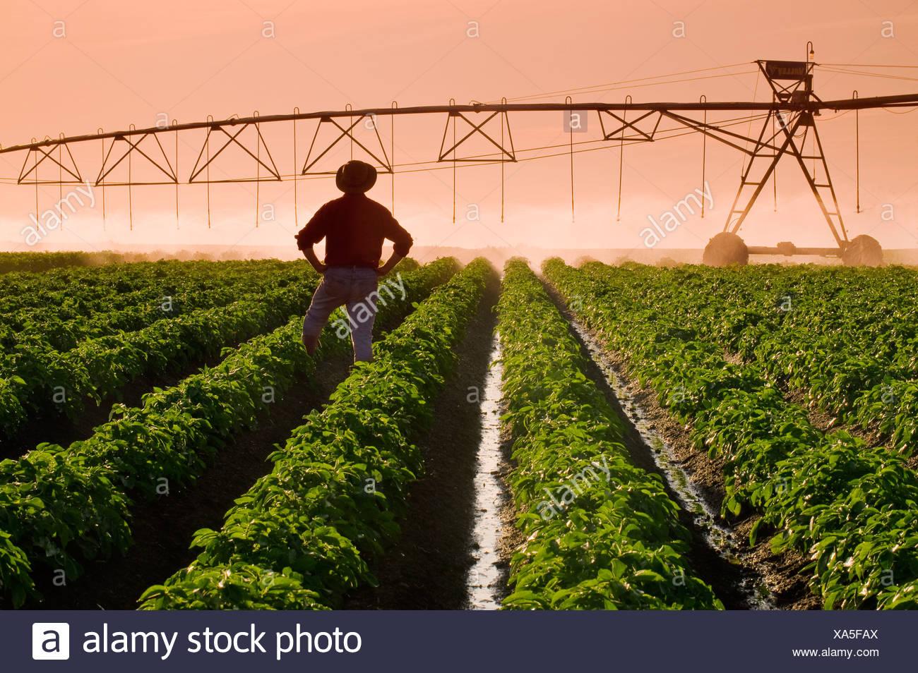 Un agricoltore sta nella sua metà della crescita campo di patate osservando un perno centrale di un sistema di irrigazione in operazione nel tardo pomeriggio la luce. Immagini Stock
