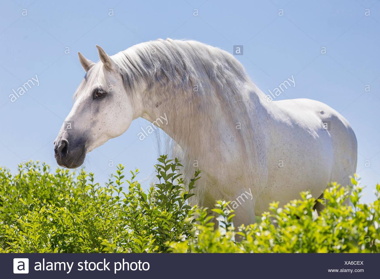 Puro Cavallo Spagnolo andaluso. Stallone grigio guardando sopra una siepe. Germania Immagini Stock