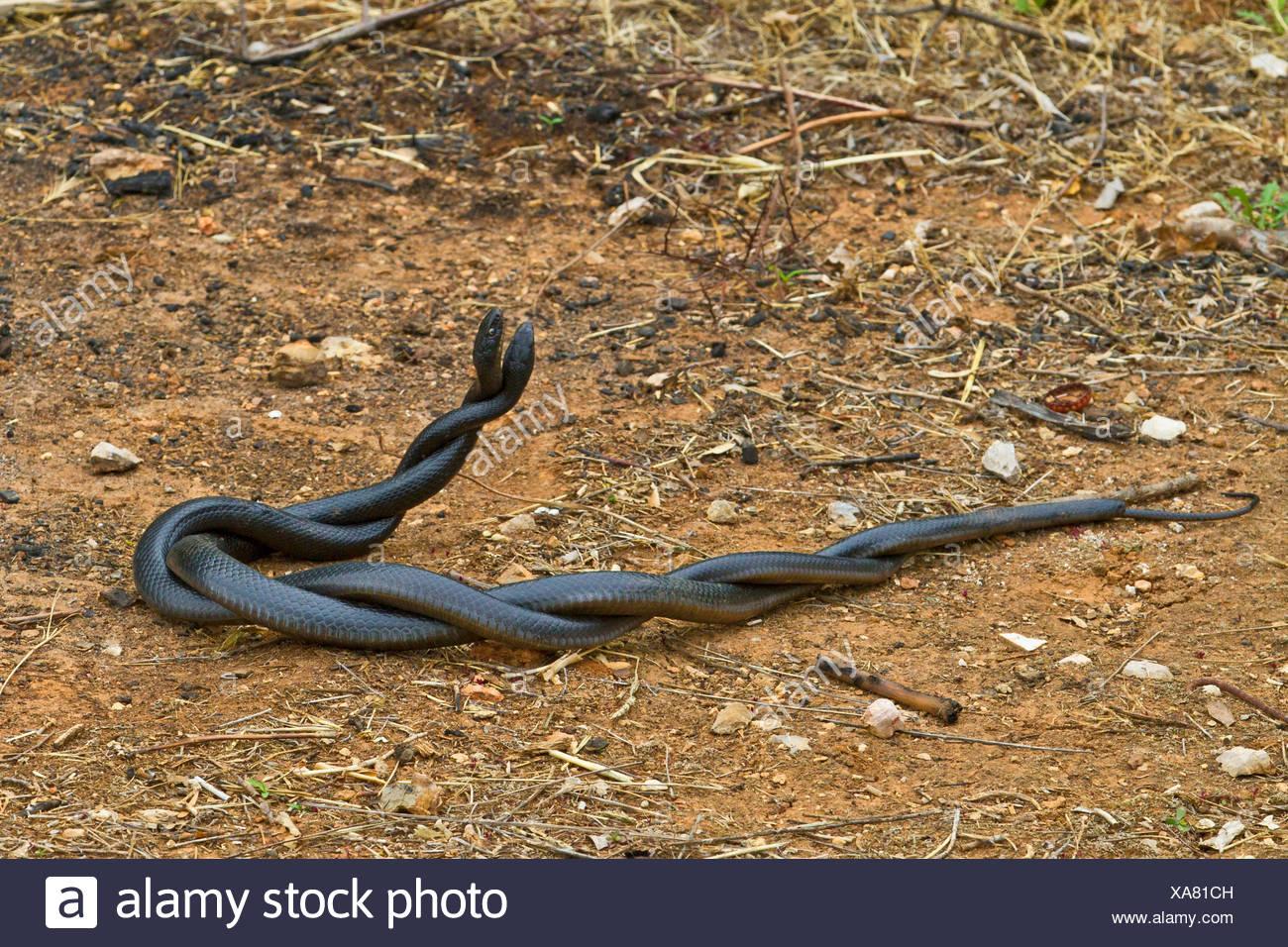 Unione frusta snake, dell'Europa occidentale frusta snake, verde scuro e whipsnake (Coluber viridiflavus, Hierophis viridiflavus carbonarius), commento combattimenti, Croazia, Istria Immagini Stock