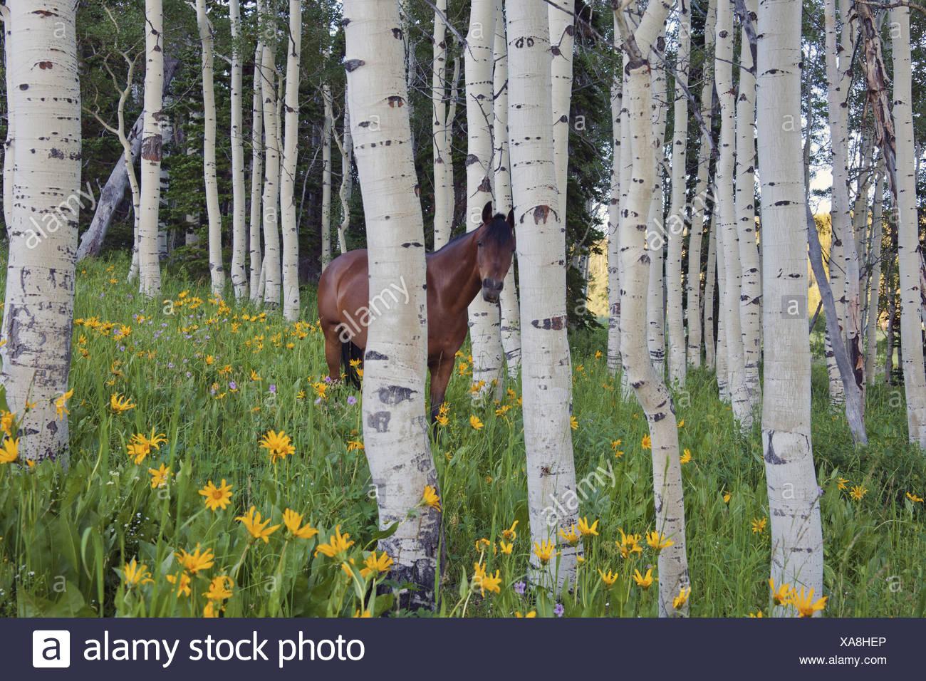 Il cavallo in un campo di fiori selvatici e alberi di aspen montagne Uinta Utah Immagini Stock