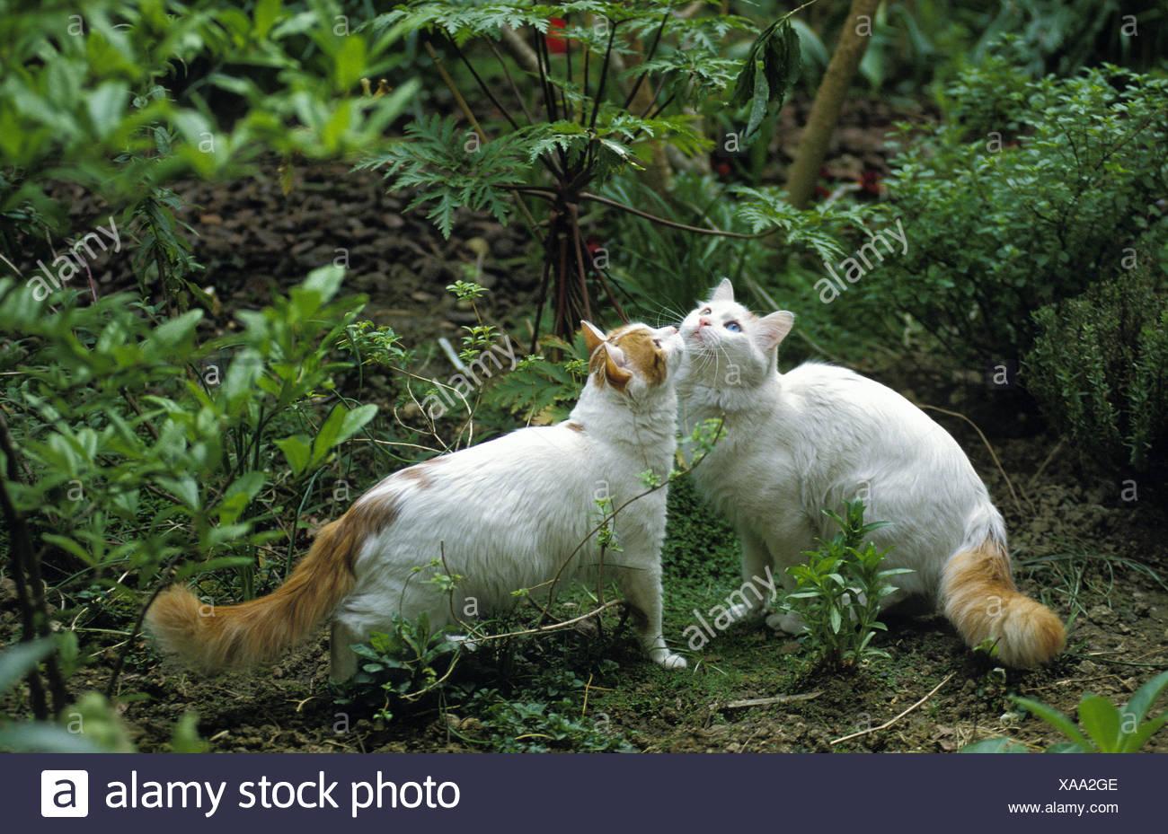 Bagno turco van gatto domestico foto immagine stock
