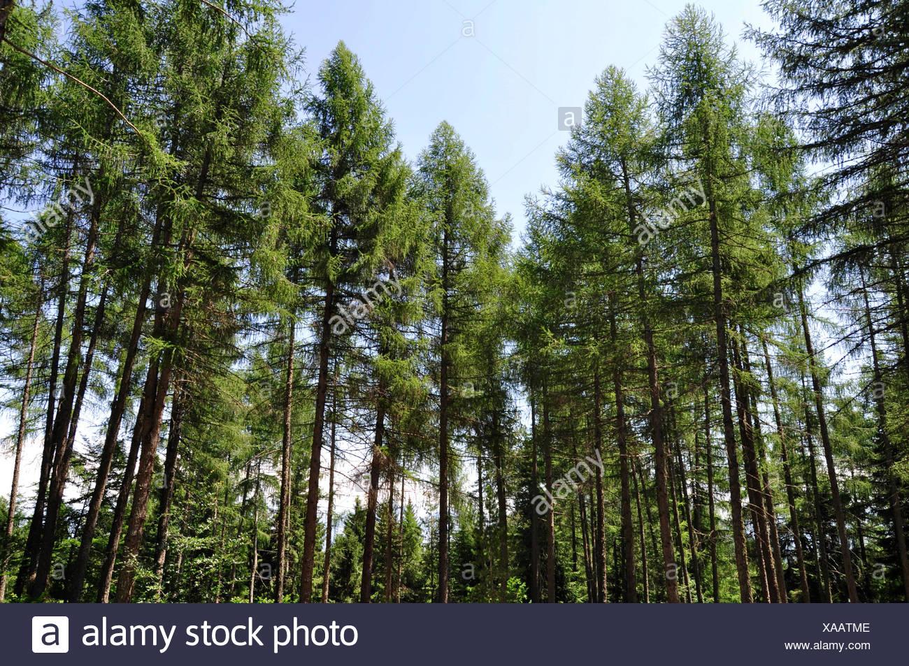 L'Italia, Balsegna di Pina, foresta di alberi di pino Immagini Stock