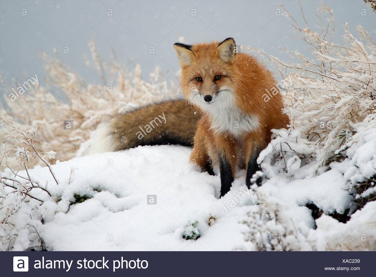 Come Luce La Neve Cade Una Volpe Rossa Davvero Spicca Contro Lo