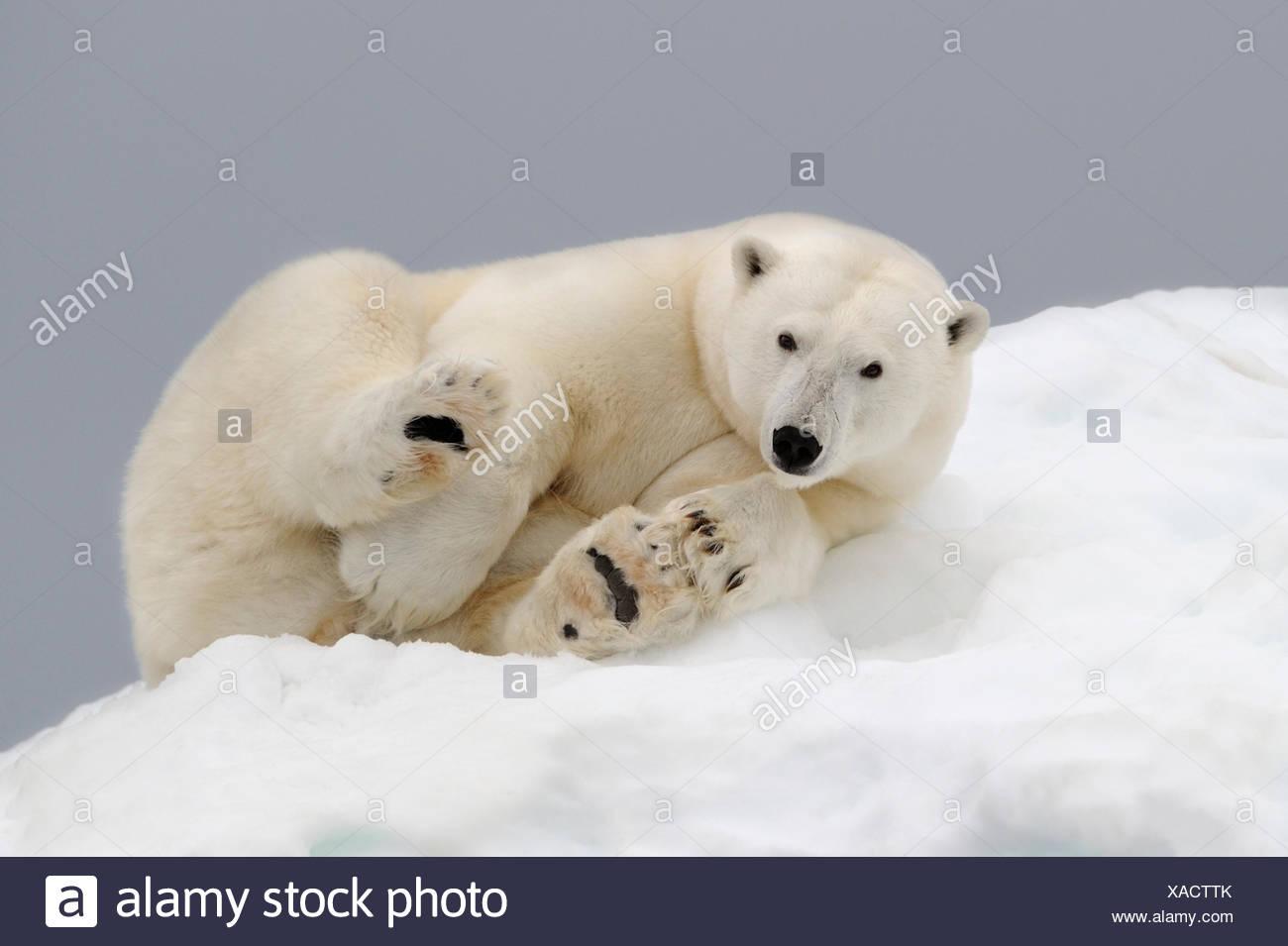 Orso polare (Ursus maritimus) appoggiato su ghiaccio. Svalbard, Norvegia. Specie in via di estinzione. Immagini Stock