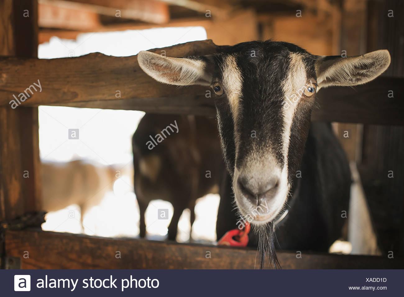 Un animale da azienda su di una azienda agricola biologica di una capra in una penna Immagini Stock