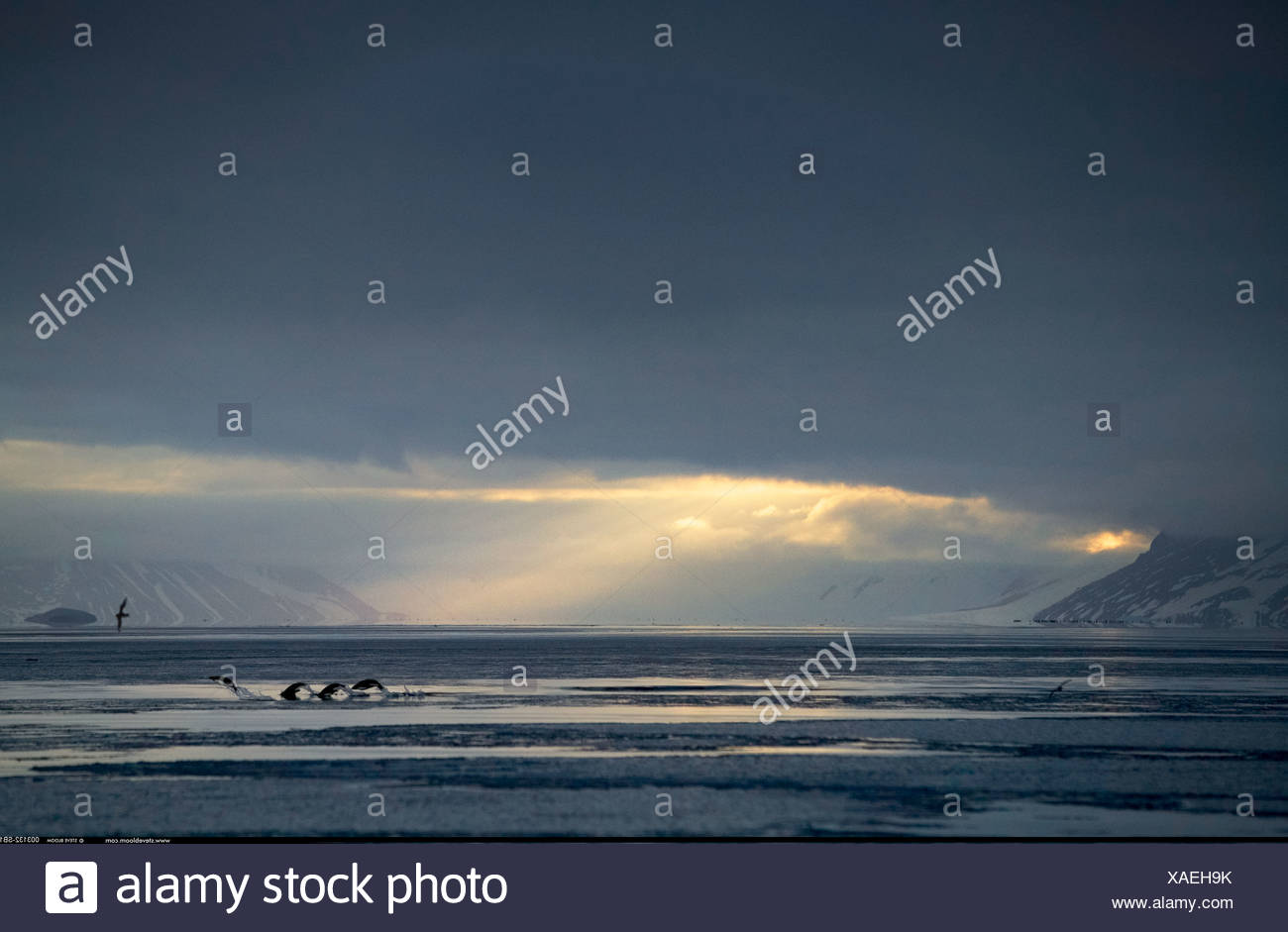 Adelie penguins nuoto Cape Adare Antartide Immagini Stock