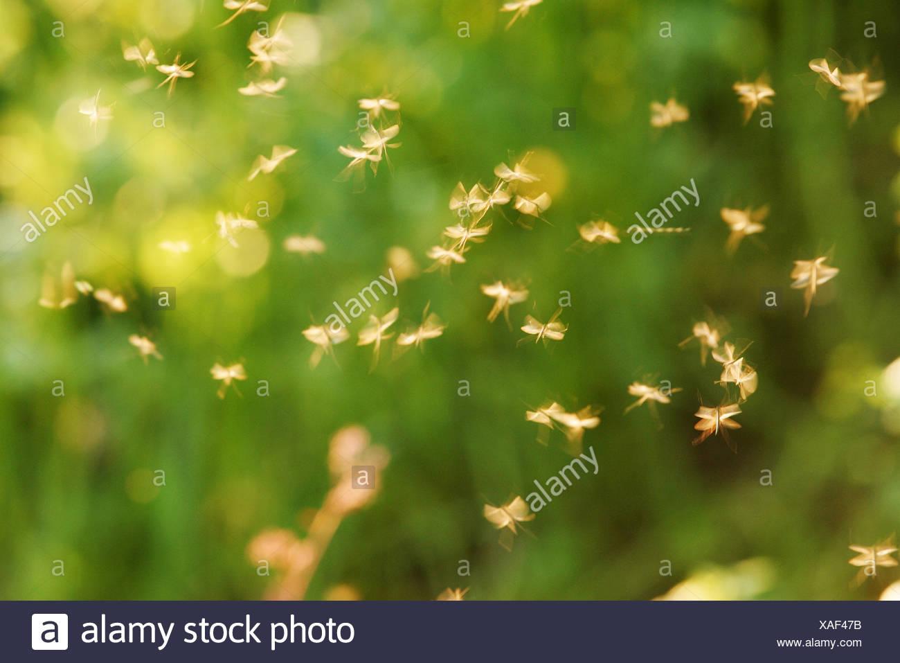 Sciame di zanzare, luce posteriore, insetti, Stechmücken, zanzare, zanzare, Gelsen, Culicidae, succhiasangue, vettori, parassiti, piccolo, minuscolo, molti, leggerezza, facilità, transitorietà, whirr, ronzio, volare tiresomely, natura, animali, luce posteriore Immagini Stock