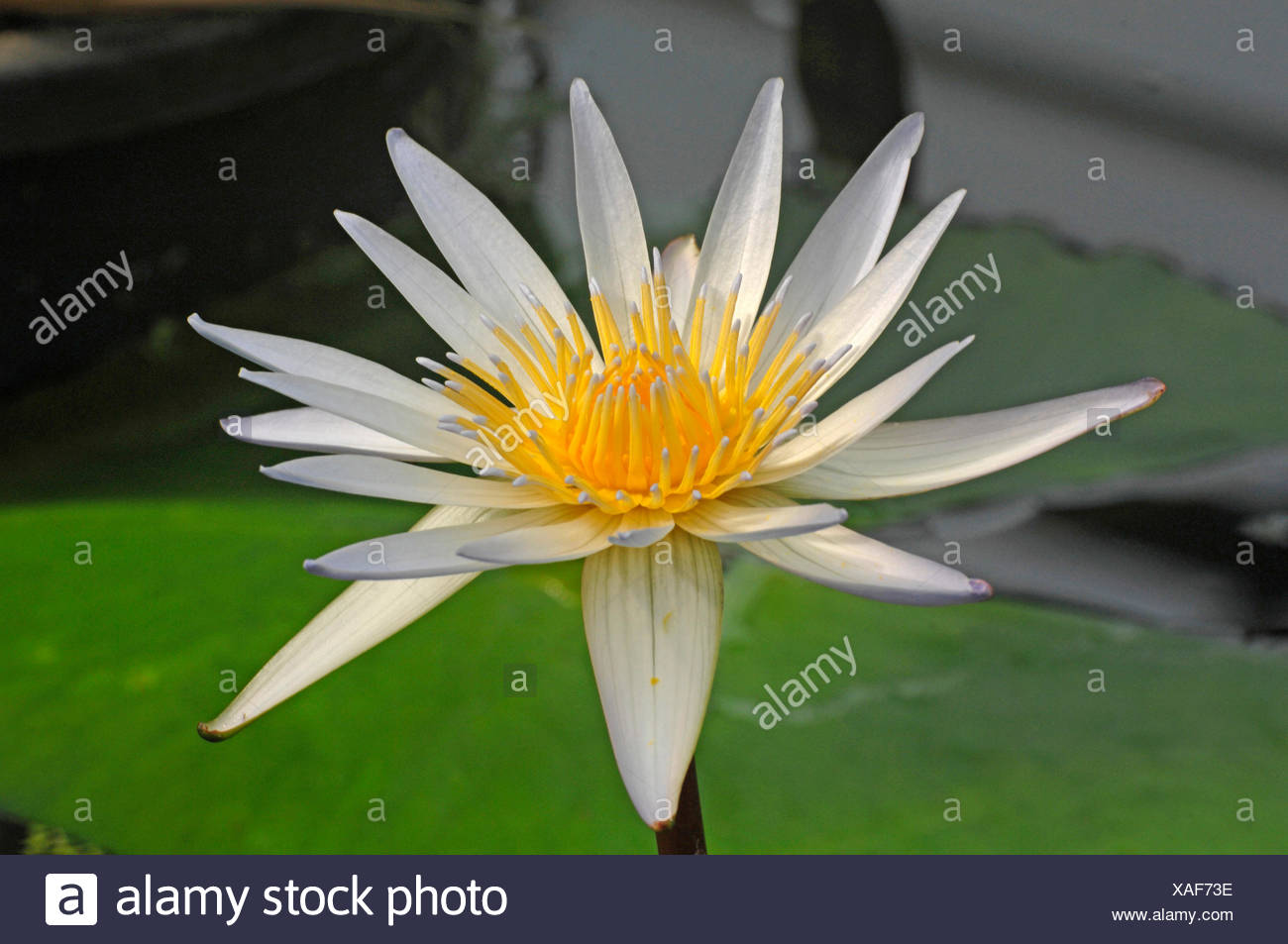 Ninfee pond lily (Nymphaea spec.), fiore, Germania Immagini Stock