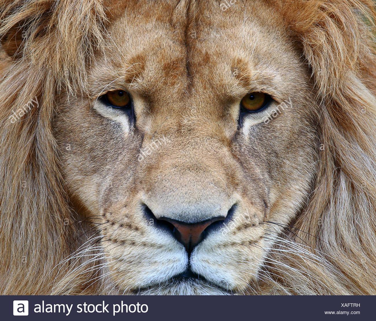 Ritratto di un leone Immagini Stock