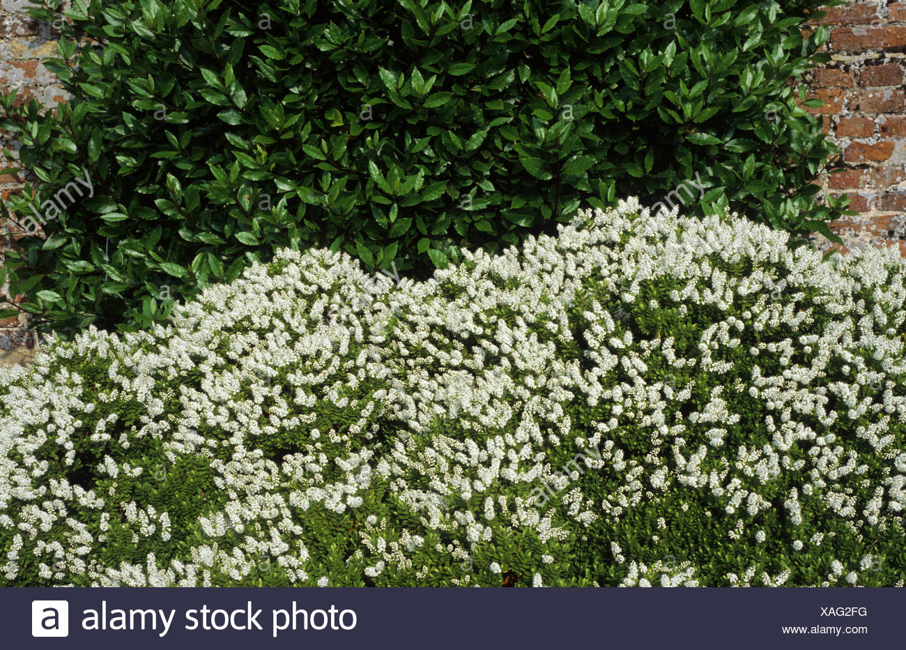 Arbusto Fiori Bianchi.Hebe Rakaiensis Fiori Bianchi Evergreen Pianta Di Giardino