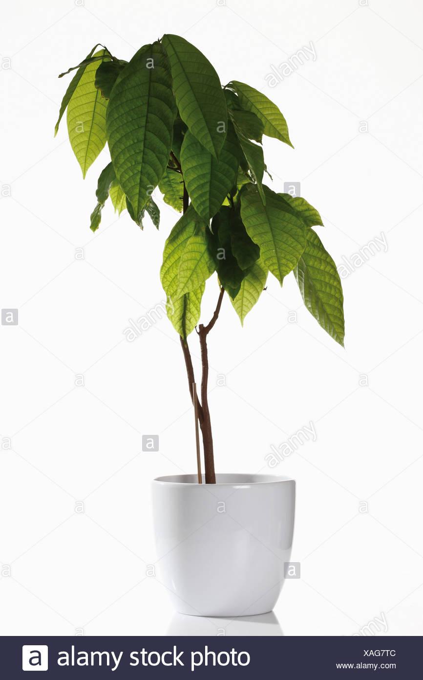 Pianta Di Cacao Nel Vaso Di Fiori Foto Immagine Stock 281869852