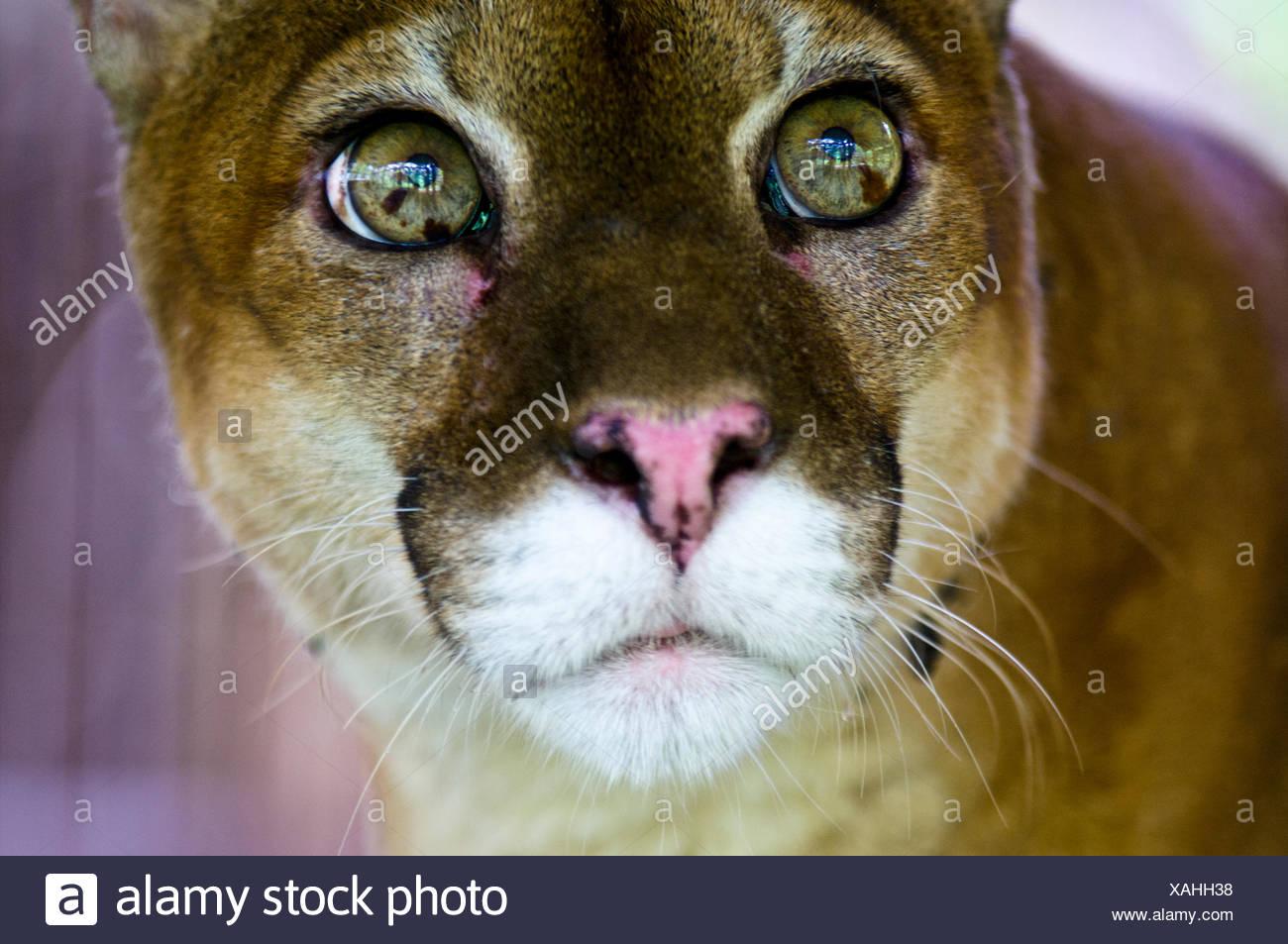 La wide-eyed curiosi ancora lo sguardo sereno di un Leone di montagna con calce occhi verdi. Immagini Stock