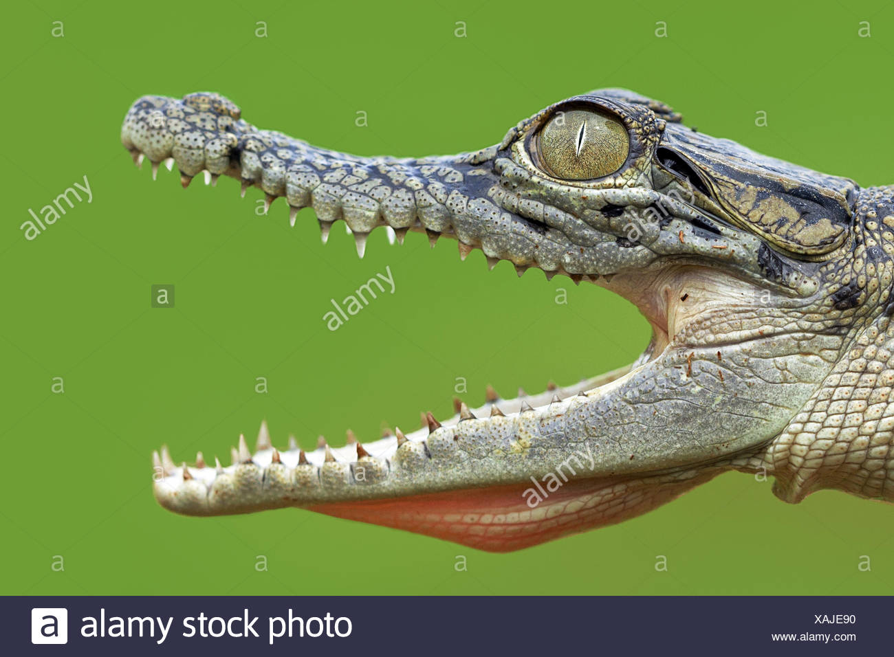 In prossimità della bocca aperta coccodrillo Immagini Stock