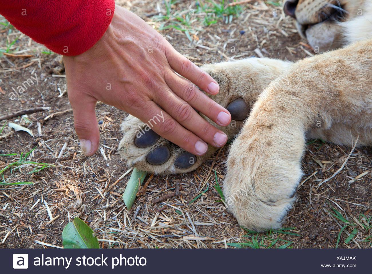 Lion (Panthera leo), mano per confronto ad una zampa da un LION CUB, Sud Africa Immagini Stock