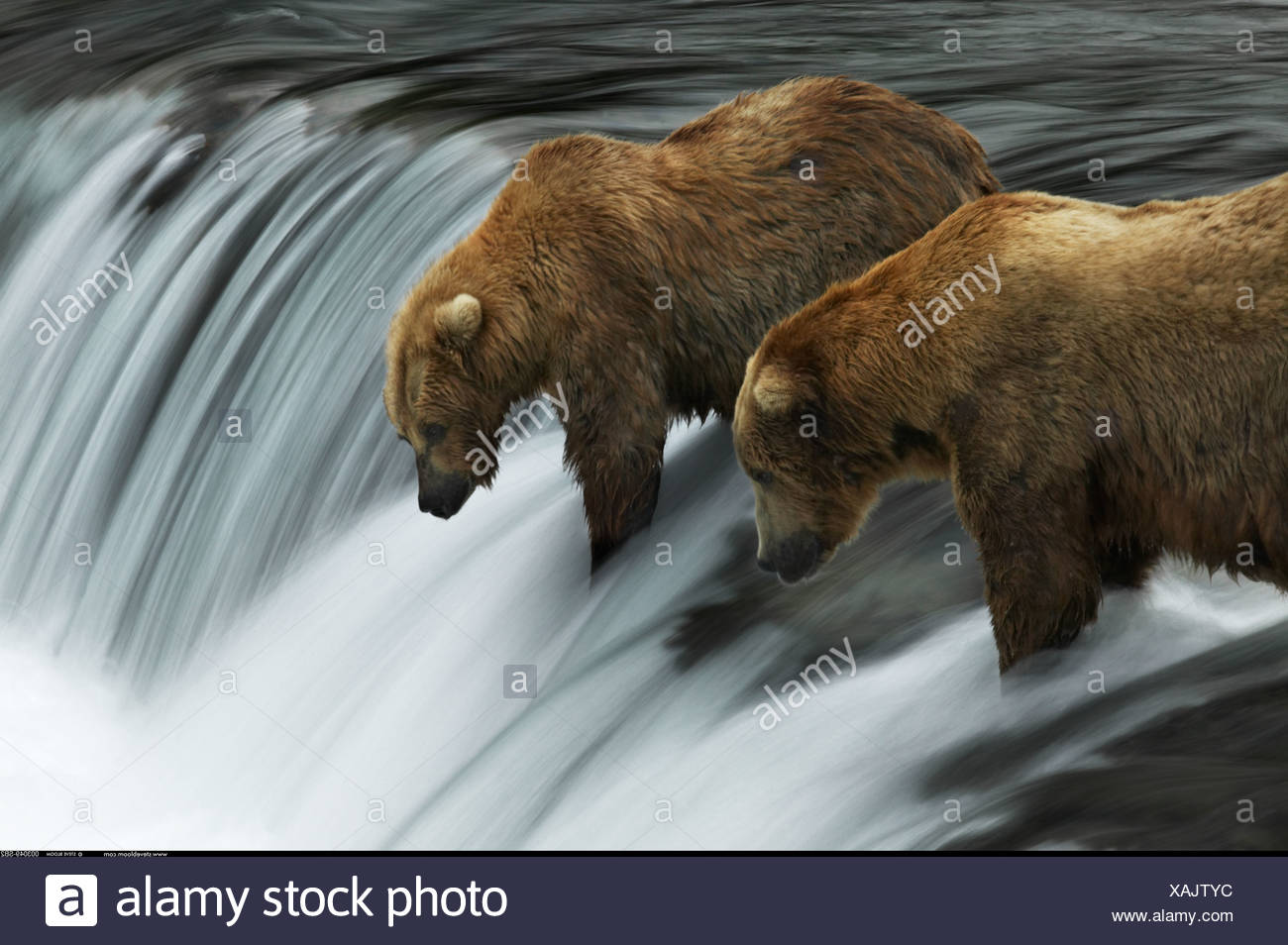 Due orsi bruni pesca Brooks Falls Alaska Immagini Stock