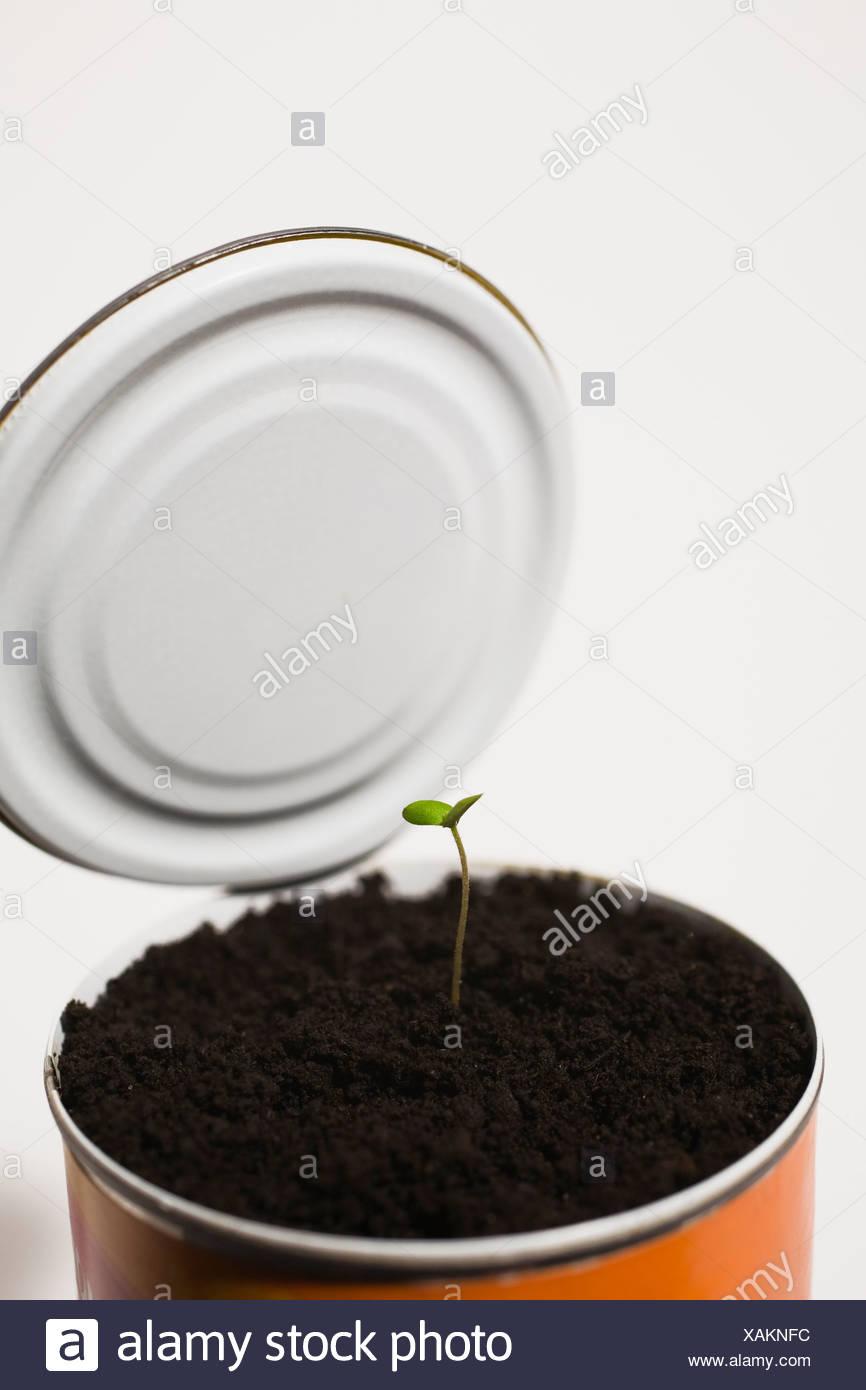 Piantina di albero fuoriuscente attraverso il suolo in barattolo di latta Immagini Stock
