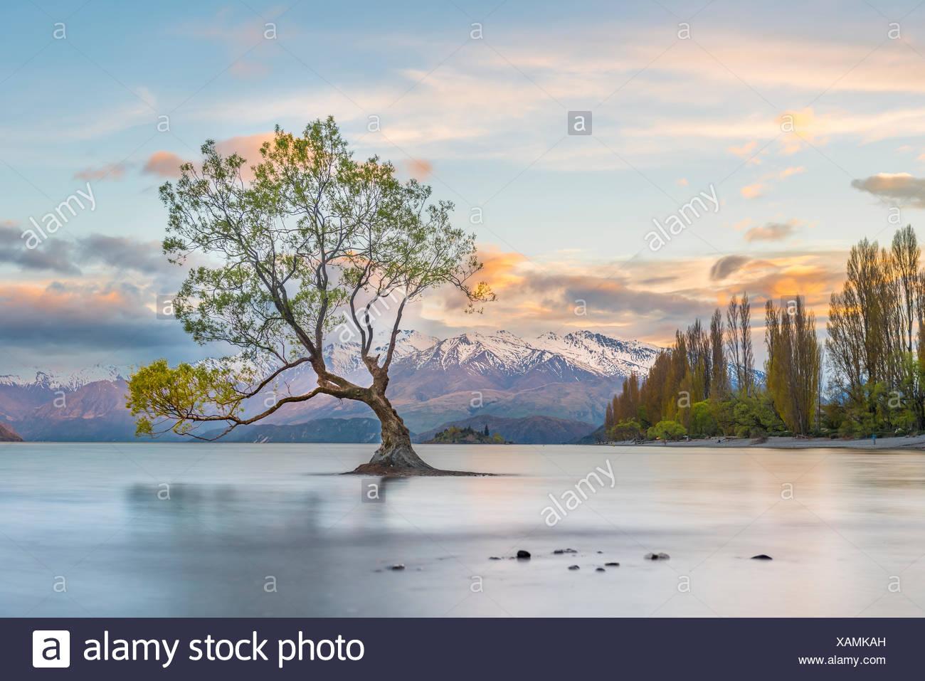 Sunrise, singolo albero in piedi in acqua, il lago Wanaka, Il Wanaka Tree, Roys Bay, Otago Southland, Nuova Zelanda Immagini Stock