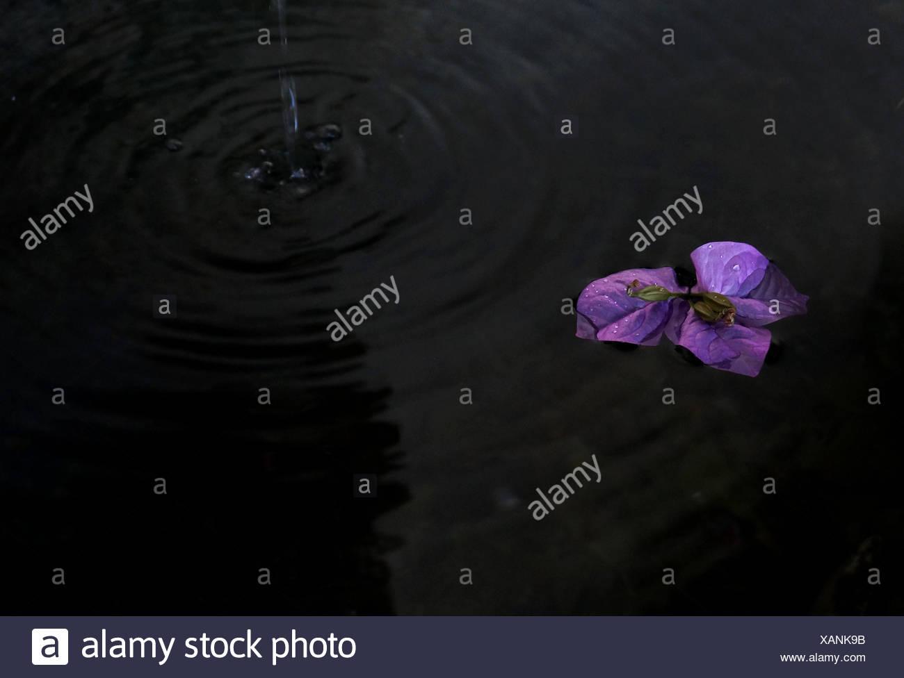 Angolo di Alta Vista del fiore viola in stagno Immagini Stock