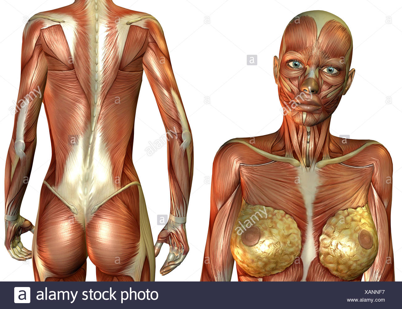 3D Rendering Frau Brust- und Rückenmuskel Foto & Immagine Stock ...